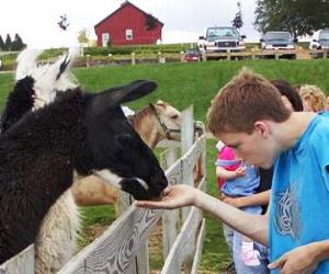 Crizt Farm New York Llama Encounter