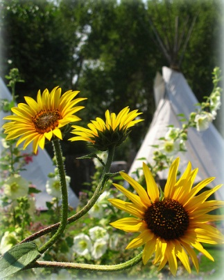 Snow Mansion Teepees and Sunflowers Family Camping near Taos, New Mexico