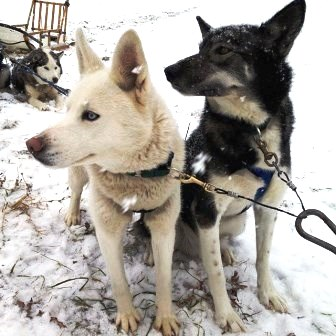 East Hill Farm Sled Dogs Winter Farm Stays