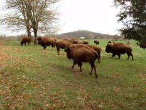 Joplin Missouri Bison on the Praire