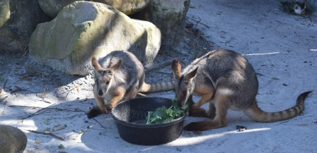 Kangaroos at Lowry Park Zoo in Tampa