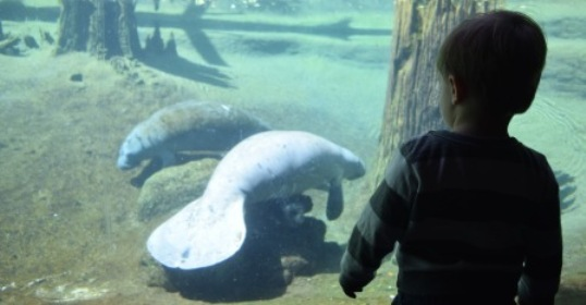 Manatee Watching at Lowry Park Zoo