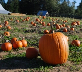 Sunrise Farm Kingston Washington Pumpkin Patch