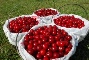 Door County Wisconsin Summer Cherry Picking Time