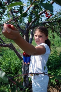 door County Wisconsin U-Pick Cherries