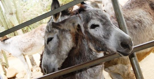 Aruba Donkey Refuges Residents Awaiting Visitors