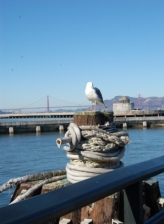 Seagull near Golden Gate Bridge, San Francisco California