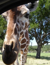 Fossil Rim Giraffe, Glen Rose Texas